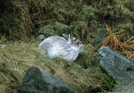 mountain hare in spring still with mostly white fur